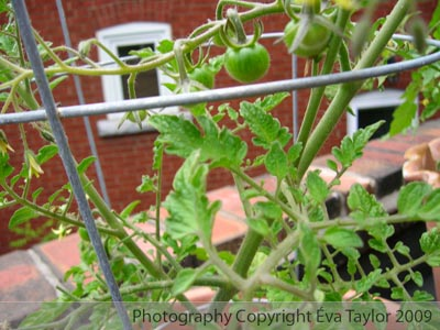Super Sweet Cherry Tomatoes - August - September