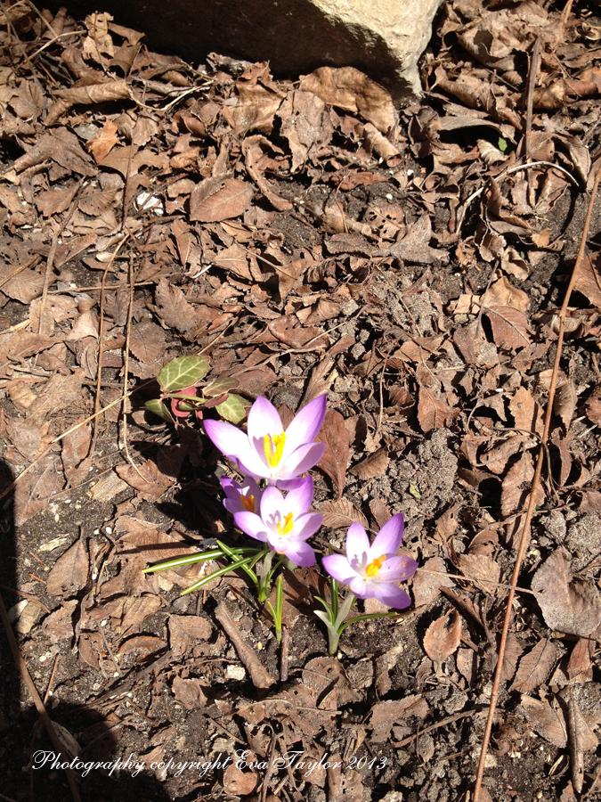 Purple Crocus_4413