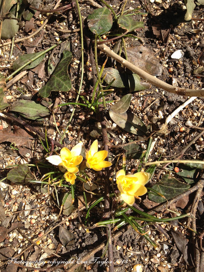 Yellow Crocus_4412
