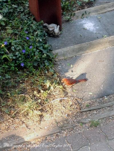 Cardinal_4628