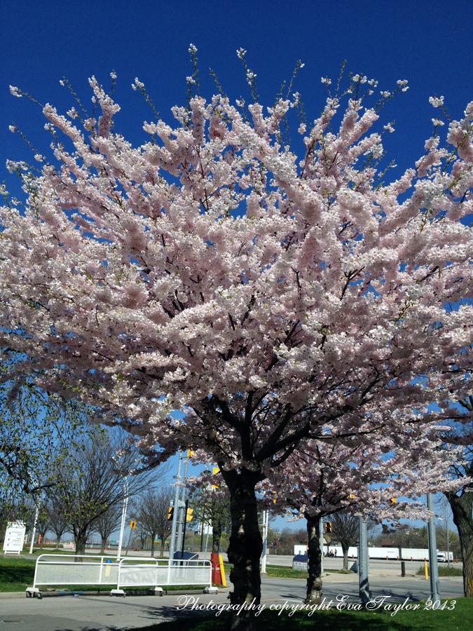 CherryBlossoms_4644