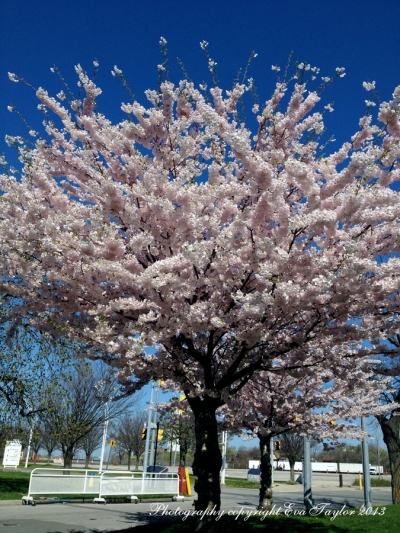 CherryBlossoms_4644
