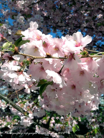CherryBlossoms_4646