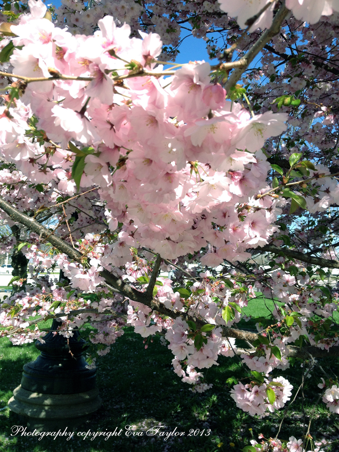 CherryBlossoms_4647