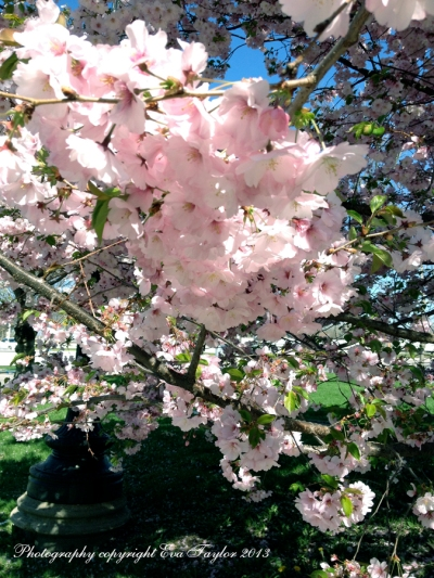 CherryBlossoms_4647