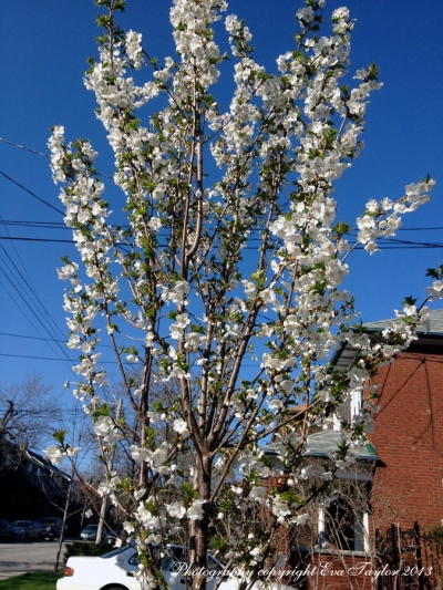 Flowering Tree_4627