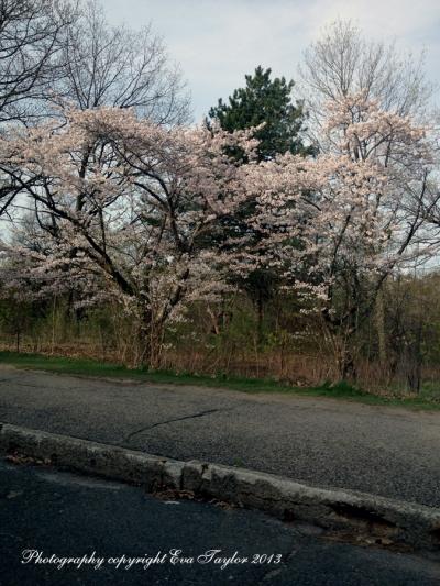 JapaneseCherryBlossoms_4637