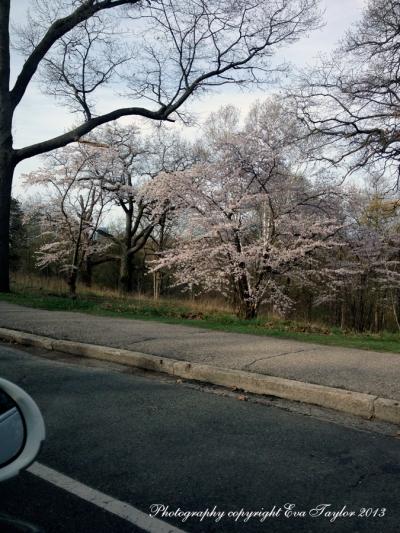 JapaneseCherryBlossoms_4638