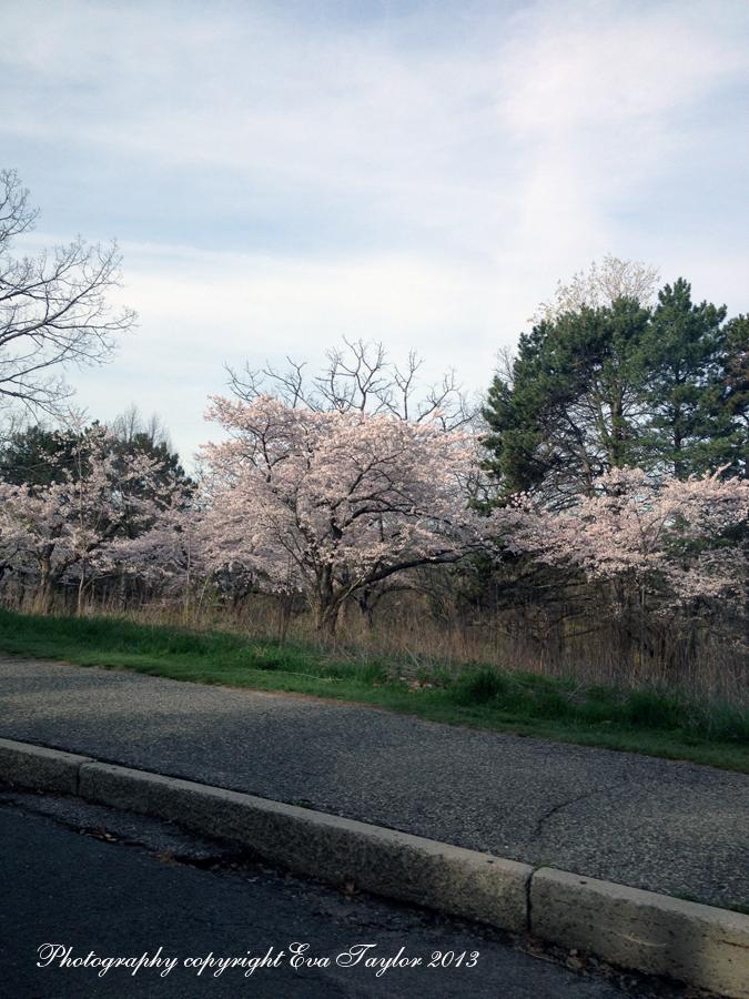 JapaneseCherryBlossoms_4639