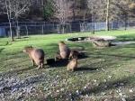 Capybara_1