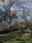 HighParkCherryBlossoms_4